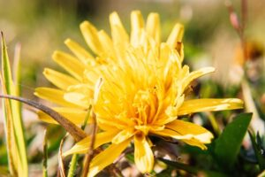 Beautiful yellow flower representing a fresh start to sober living