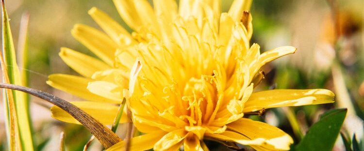 Beautiful yellow flower representing a fresh start to sober living